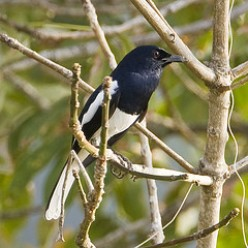 Magpie Robin.  Our resident robins also come indoors.  They also attack their image in the window or the car mirror,  - aggressive little fellas!