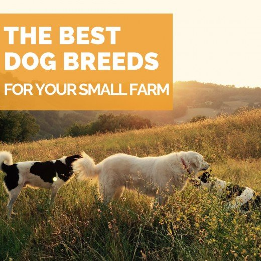 The best dog breeds for your small backyard farm.