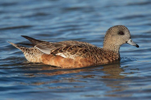 A photograph of a female American Wigeon taken at Humber Park Bay in Ontario, Canada. Source: Mdf via Wikimedia Commons