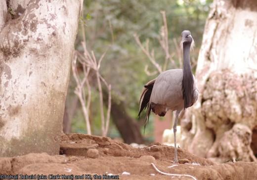 Demoiselle crane from Khyber Pukhtunkhwa province