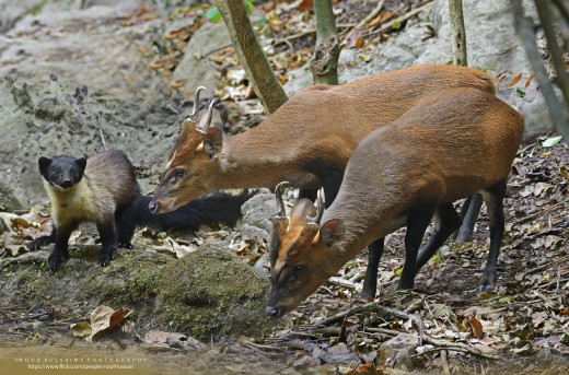 A yellow-throated marten in the company of two  barking deer at Margalla Hills National Park