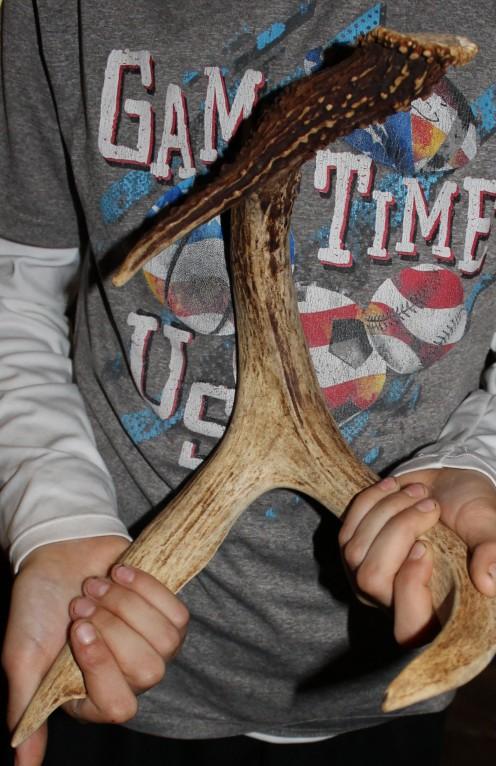 Examining deer antlers