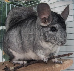 Important Facts for Owning Chinchillas