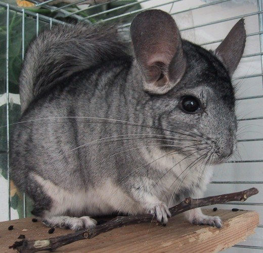 If you're looking for an adorable pet, a chinchilla can be a great option!