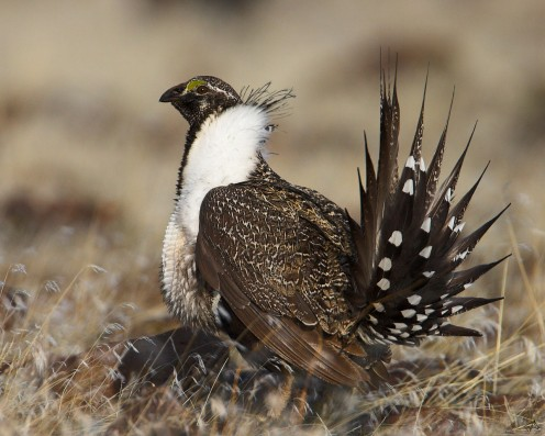Sage Grouse in Gunnison National Forest
