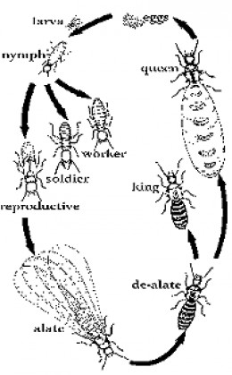 Reprinted from http://www.termite-pictures.com/termite_life_cycle.htm