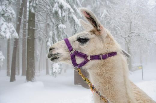 Snowy Llama