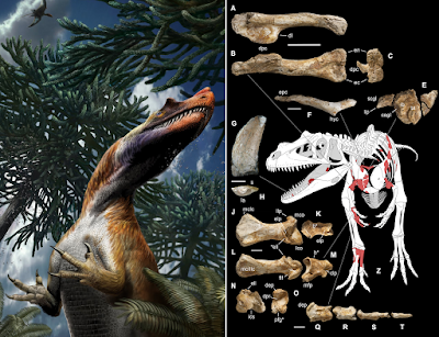 Saltriovenator in the flesh by Davide Bonadonna (left) and its known remains and projected anatomy by Marco Auditore et al (right).