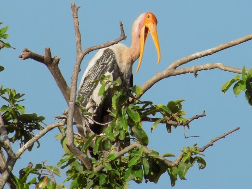 Painted stork at Vedanthangal