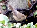Birding Trip Report: Dusky Warbler at Kingsbury Water Park, Warwickshire 29/12/18