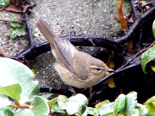 An example of a Dusky Warbler- note the pale supercilium, dark eye stripe, dusky brown underparts and short primary projection.
