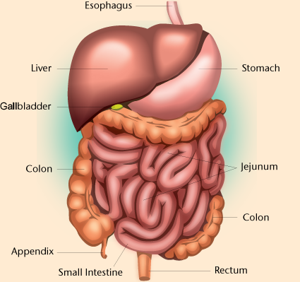 Another view of the liver and the gastrointestinal tract, which is also called the GI tract and the digestive tract