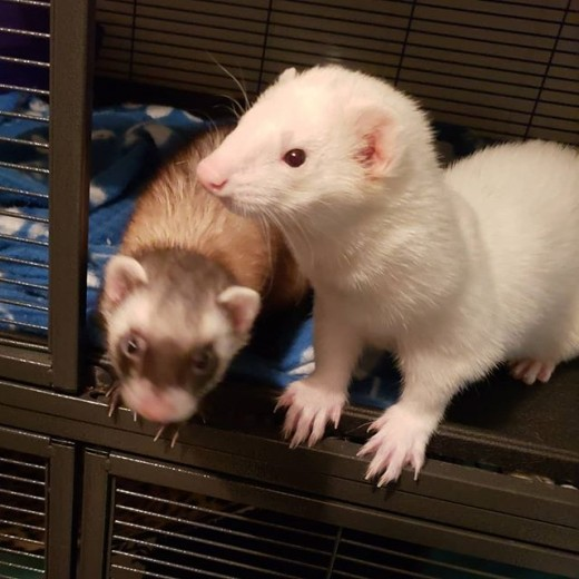My ferrets, Rocket and Groot