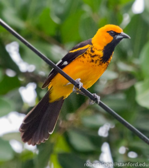 This stunning bird, a spot-breasted oriole, is only found in parts of southern Florida.