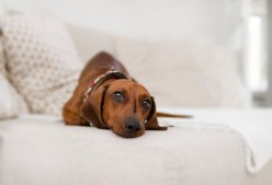 5 Dog Breeds for Apartment Living