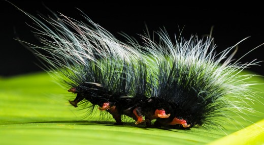 17 Furry Caterpillar Types: An Identification Guide | Owlcation
