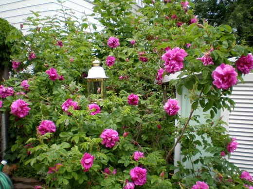 Coffee grounds are a great source of nitrogen for roses.