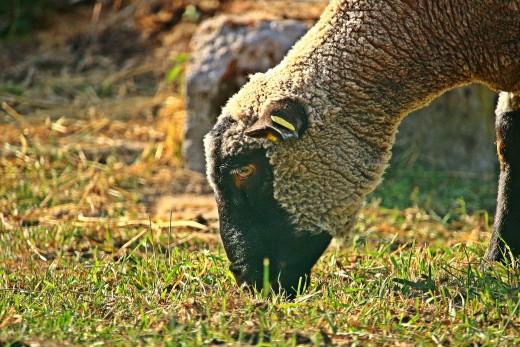 Merino sheep gets a nom.