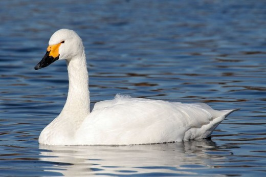 A photograph of a Bewick's Swan.taken in Saitama, Japan.