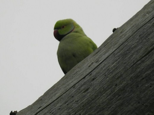 A couple of photographs of Elmdon Park's Ring-necked (Rose-ringed) Parakeets.