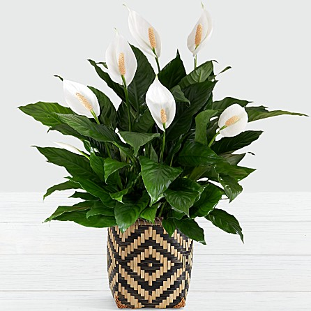 Your peace lily will eventually bloom if you take good care of it.