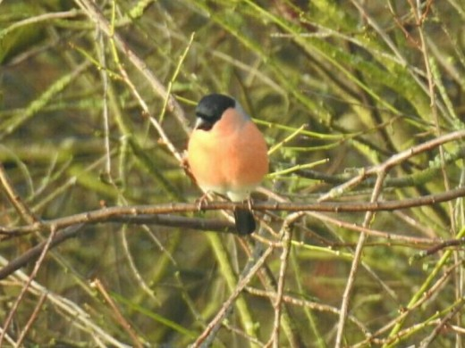 A handsome male Eurasian Bullfinch that sat still just long enough for me to take a photograph,