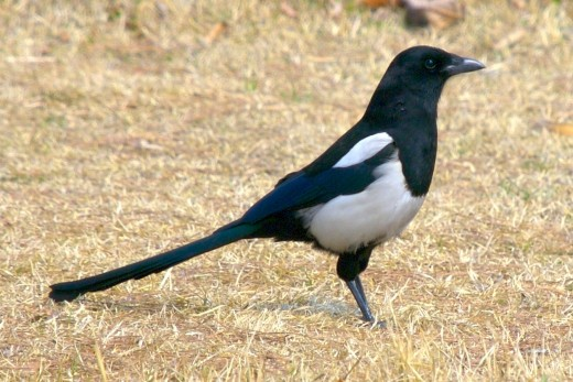 Korean magpie in Daejeon, South Korea near the Daejeon City Museum of Art.(Pica (pica)