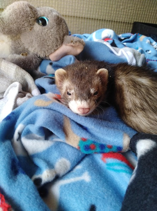 This is my ferret as a baby.