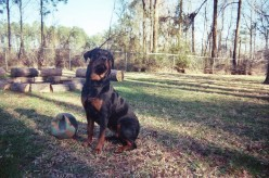 Rottweiler! Treat them with love, they'll be loving dogs!