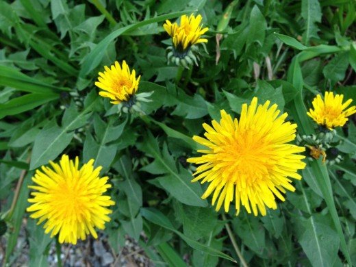 Dandelion (Taraxacum officinale) is often regarded as a weed but is actually a greatly beneficial plant.
