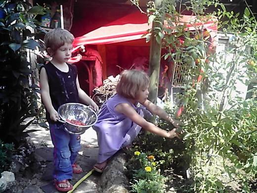 Children picking tomatoes