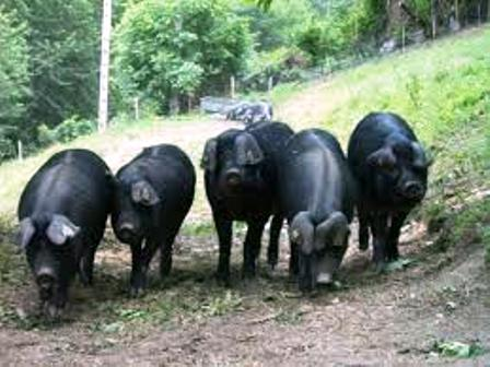 Large Blacks, hogs that would have been around since before the early days of Christianity in the British Isles