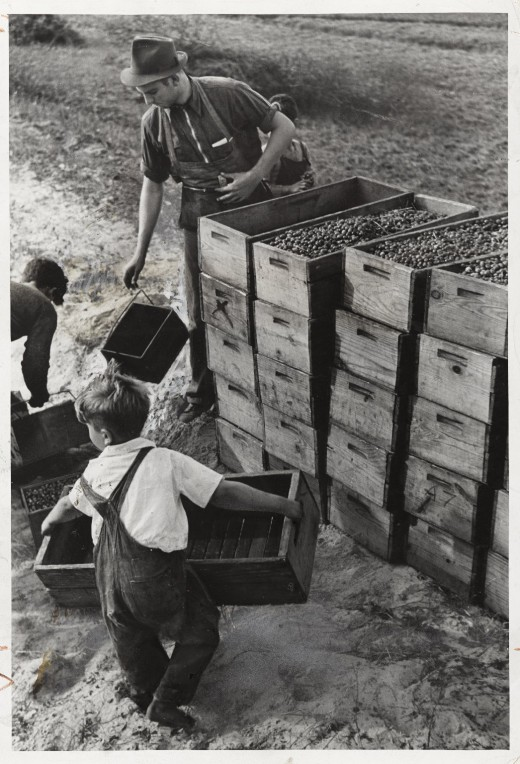 Young children working in a cranberry bog in 1939.