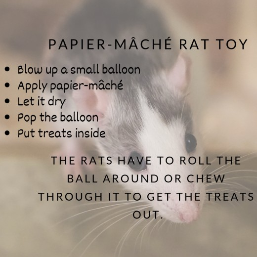 Make sure to supervise so that your rats do not go after the deflated balloon.
