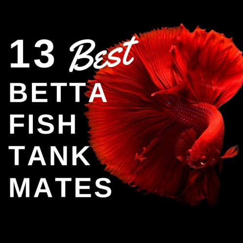 Best Tank Mates for Betta Fish