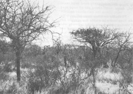 Tsavo, before elephant damage