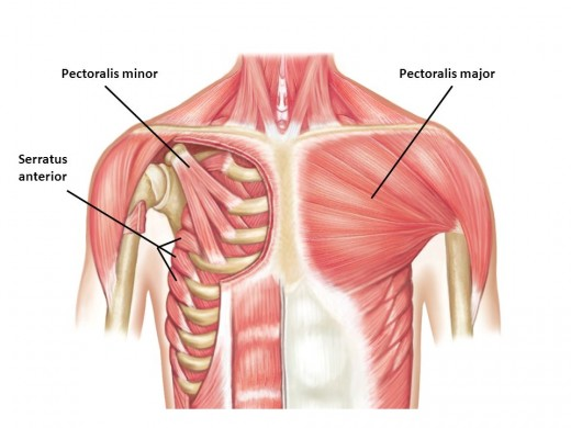 Take note that serratus anterior and lower trapezius have one intercepting function responsible for maintaining good upper body postures