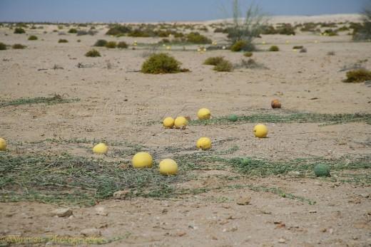 Wild Desert Melon