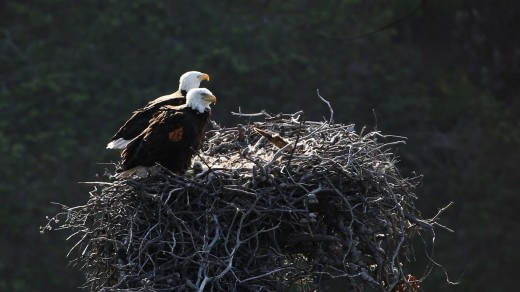 Two bald eagles overlooking their nest.