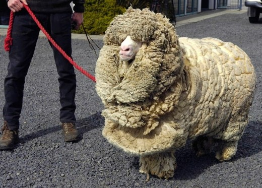 In 2004, Shrek, the famous sheep from New Zealand who avoided being caught and shorn for six years, was finally shown live on television.