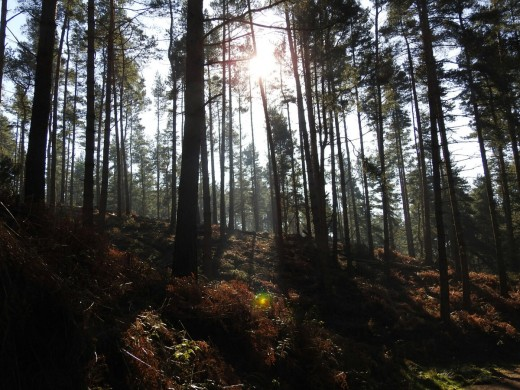 The sunlight filtering through the trees at Cannock Chase