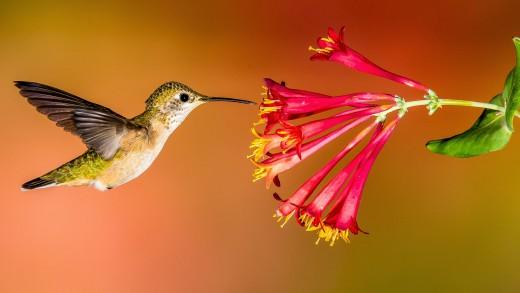 Lovely, fluttering hummingbirds.  We love them!