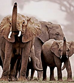 Elephant culling in Africa