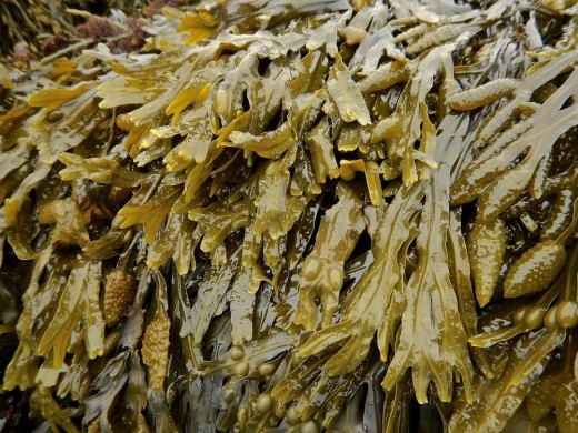 Bladderwrack seaweed has the highest concentrate of calcium and iron in seaweed strains and acts as a great nitrogen fertilizer for your super soil.