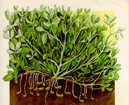 Peanut Plant Drawing