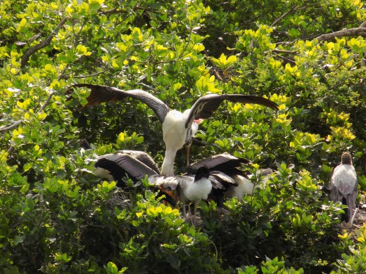 A Painted stork feedings its babies at Vednathangal