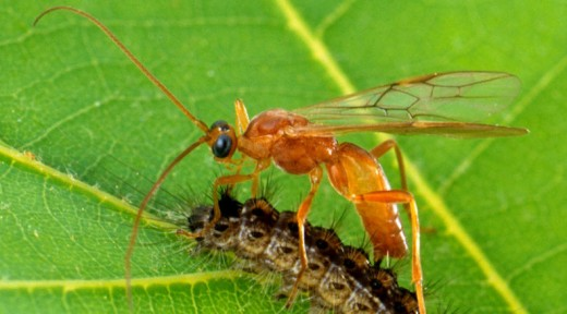 The highly prized parasitic wasp kills the most predator pests in the garden and is the most devout to cleaning up its local biome. They place themselves on top of another insect before killing it.