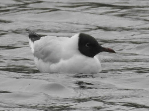 The majority of the Black-headed Gulls on the lake have now developed the brown hoods that are the main feature of their breeding plumage.