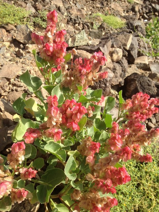 """The leaves of """"Hummaied"""" (Rumex vesicarius L.)  can be eaten raw in salads or cooked with pulses and other menu of your desire. (February 2, 2019, WAl-Wahba Crater, Harrat Kishb, Western Saudi Arabia)"""