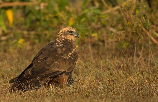 A photograph of a female Western Marsh Harrier.